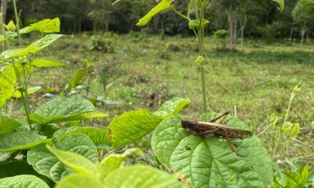 Plaga de langostas voladoras amenaza a la agricultura guatemalteca