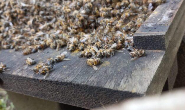 Desalmados envenenan abejas en hotel ecológico